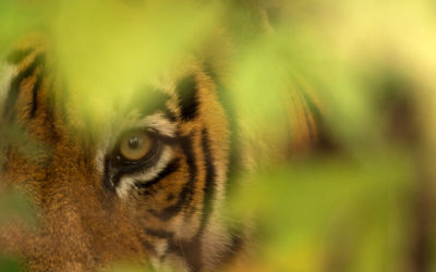 Human Fatalities caused by Tiger Attacks in Ranthambhore