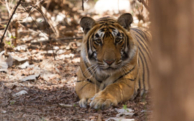 Destiny's Cubs: The success of Foster Care in Ranthambhore
