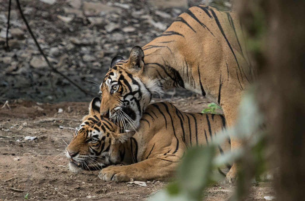 Current Status of Tigers in Ranthambhore ( 8/10/19)