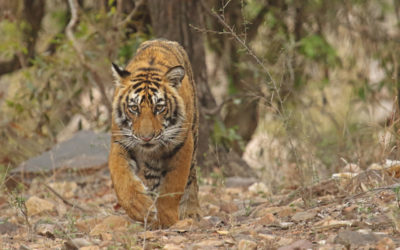 The Mystery Behind the Missing Tigers